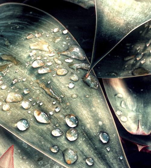 Agave Dewdrops © lynette sheppard