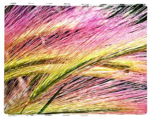 Squirrel Tail Barley © lynette sheppard