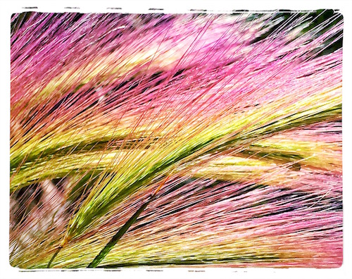 Squirrel Tail Barley © lynette sheppard