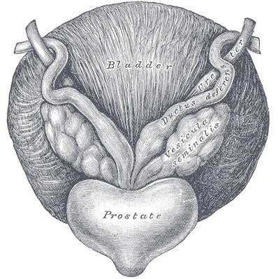 anatomía de la próstata