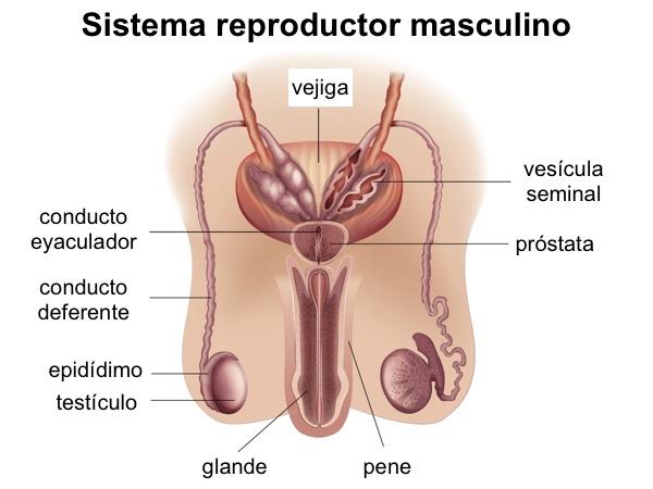Sistema reproducto masculino