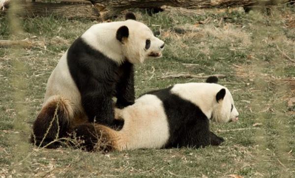 ¿Vídeos porno para los osos panda?