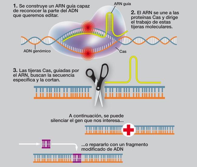 ¿Qué es CRISPR y por qué un día merecerá el premio Nobel?