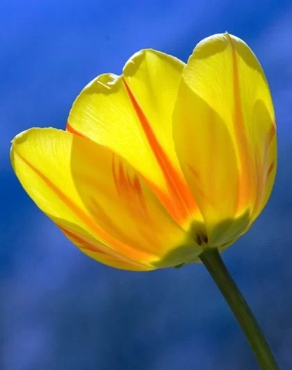 fotos tulipas