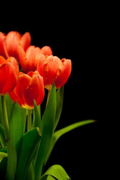 fotos tulipas laranjas