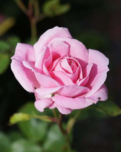 fotos de rosas 4