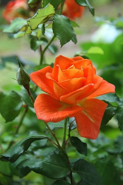 fotos de rosas 5