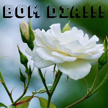 bom dia com rosas brancas