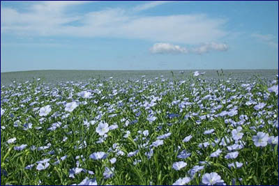 reimers-flax-flower