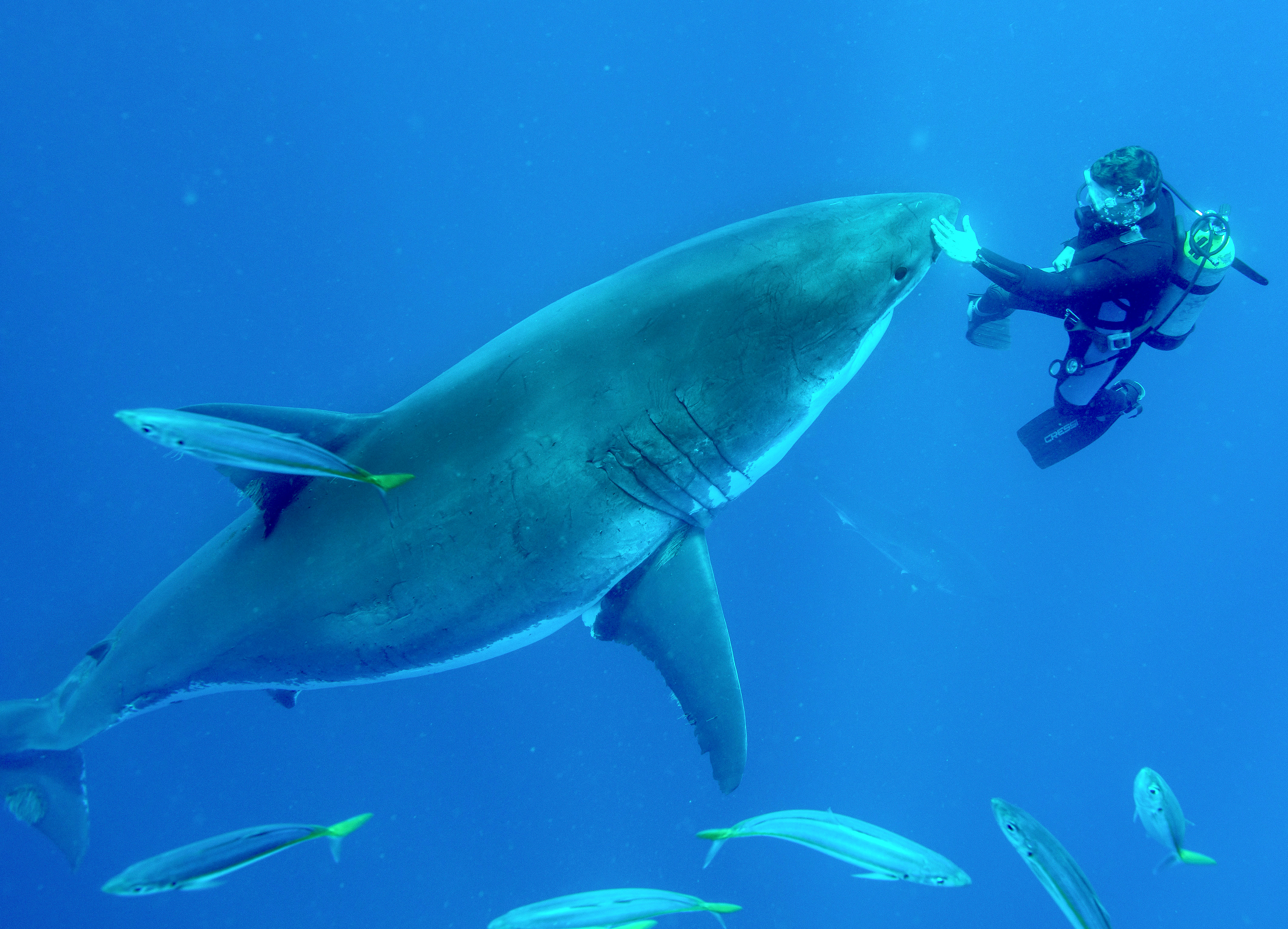 Touching Huge Great White Sharks Is Fearless Feat For