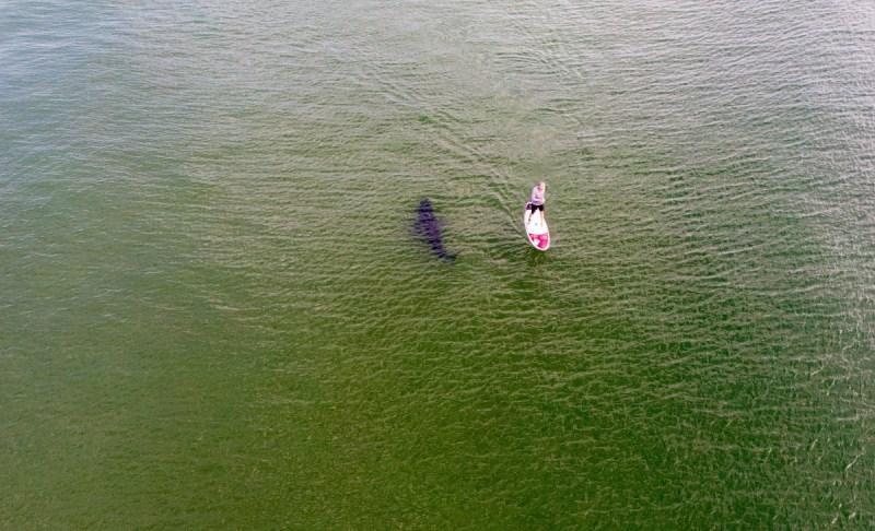 Requin SUP