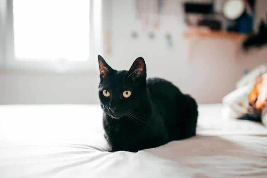Gato de Bombay