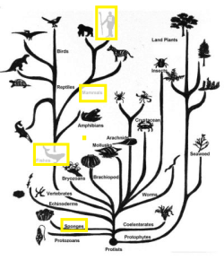 Figure 13.1 Tree of Life with 2 branches (fish and mammals) and leaf (human) outlined in yellow