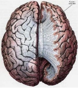 Here the brain is seen from above. On the right side an inch or so of the top has been lopped off. We can see the band of the corpus callosum fanning out after crossing, and joining every part of the two hemispheres.