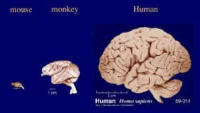 Tremendous growth in brain size in mammalian species. Mouse monkey human