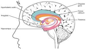 A group of subcortical structures, involved with emotion and motivation