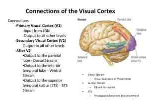 Occipital lobe - three pathways