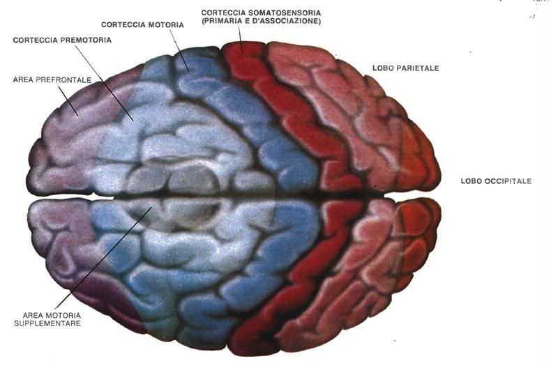 mente amica corteccia cerebrale