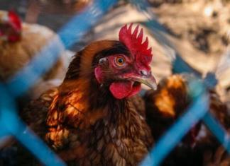 China rastreia asas de frango de origem brasileira com positivo para covid-19