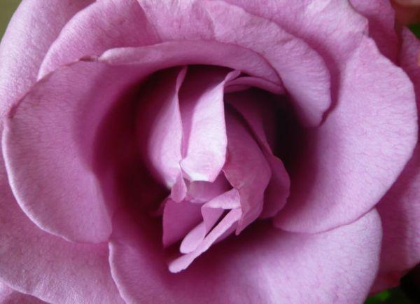 rose antirides