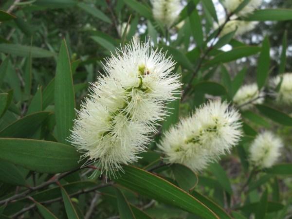 huile essentielle de niaouli bio