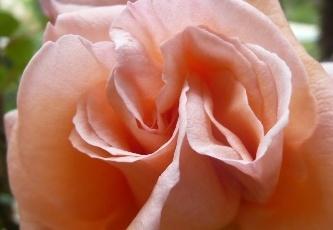 Lotion rafraîchissante à la rose