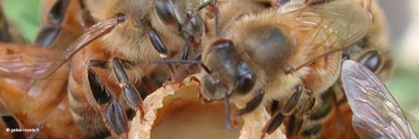 la gelée royale abeilles