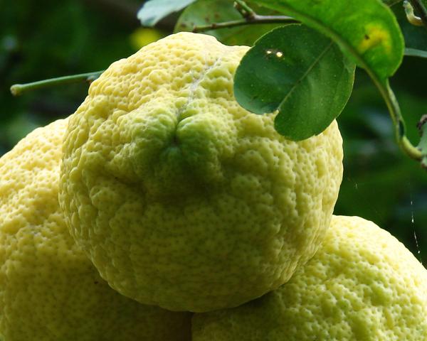 Huile essentielle petit grain citron