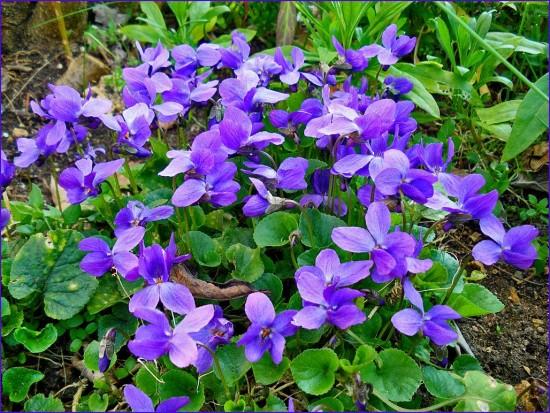 huile essentielle de violette odorante