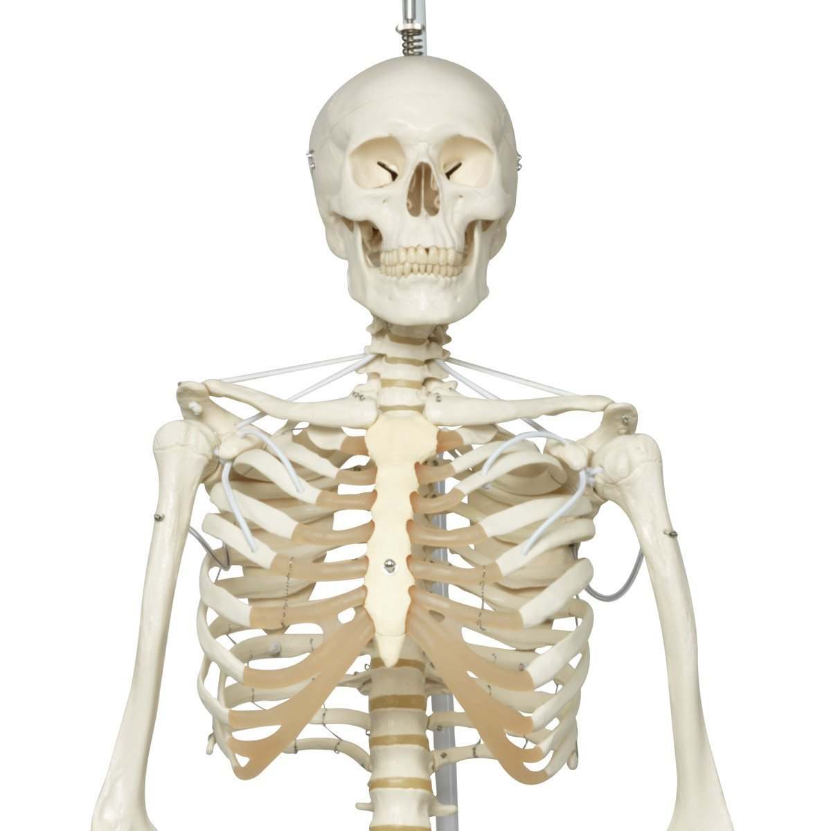 Anatomical The Functional Skeleton Model