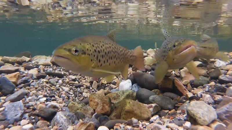 La reproducción de los peces de río