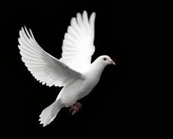 güvercin uçuşu