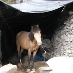 Mule: Eco Friendly Development or Dying Animal?