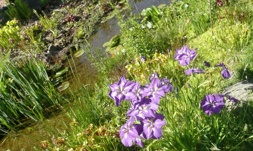 BASSIN iris d'eau