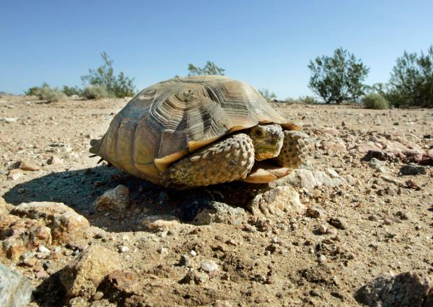 An endangered desert tortoise, which didn't move when a vehicle approached, sits in the middle of a road in the proposed location of three BrightSource Energy solar-energy generation complexes in the eastern Mojave Desert several miles from an old mining and railroad townsite called Ivanpah, Calif., Wednesday, Sept. 3, 2008. A relative of California Gov. Arnold Schwarzenegger and one of his former cabinet secretaries are part of a private investment group that could reap a windfall if government regulators approve the sprawling project. (AP Photo/Reed Saxon)