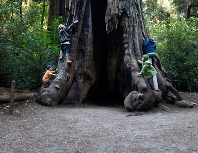 From left, Tobias Kushner, 4, Elli Swanson-Dexel, 11, her sisters Phoenix, 6, and Ocean, 12, of Santa Cruz climb a redwood tree while visiting Big Basin Park Thursday July 29, 2011. The park offers a number of campsites and given the state of the economy, 'stay-cation' camping is growing in appeal. (Photo by Patrick Tehan/Mercury News)