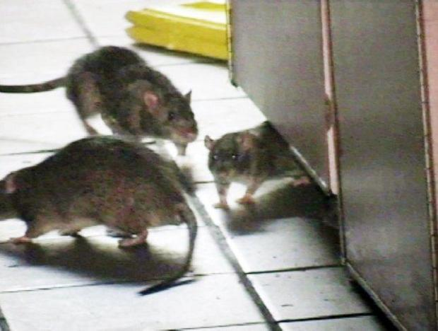 In this image made from video rats move around inside a KFC-Taco Bell restaurant in Greenwich Village in New York, Friday, Feb. 23, 2007. (AP Photo/Rafael Garcia Jr. via APTN)