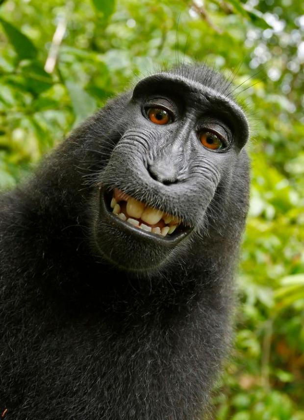 This 2011 photo provided by People for the Ethical Treatment of Animals (PETA) shows a selfie taken by a macaque monkey on the Indonesian island of Sulawesi with a camera that was positioned by British nature photographer David Slater.(David Slater/Court exhibit provided by PETA via AP)