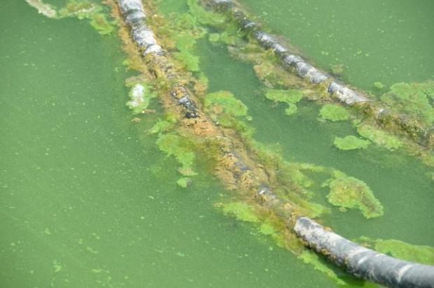 how to make blue green algae