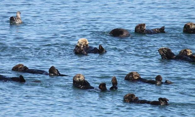 File photograph: Sea otters in Moss Landing. (Lilian Carswell/USFWS)