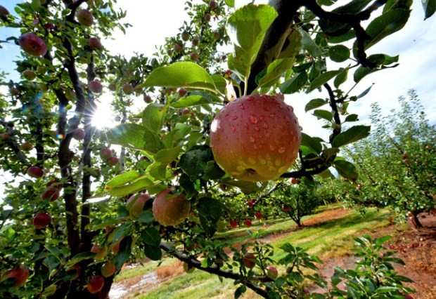 High Hill Ranch is one of more than 50 apple farms that dot the hillsides of Placerville and Camino. (Doug Duran/Bay Area News Group)