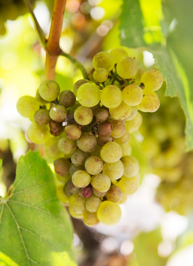 Is Grapes Good For You After Food Poisoning
