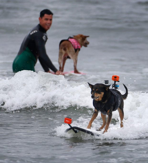 Mike Uy's dog, Abbie, rides a wave as Homer Henard, with his dog, Skyler, looks on during the World Championships for Dog Surfing at Linda Mar Beach in Pacifica, Calif., Saturday, Sept.10, 2016. The event brought together dog surfers to raise money for charity, and to bring home the gold. (Patrick Tehan/Bay Area News Group)