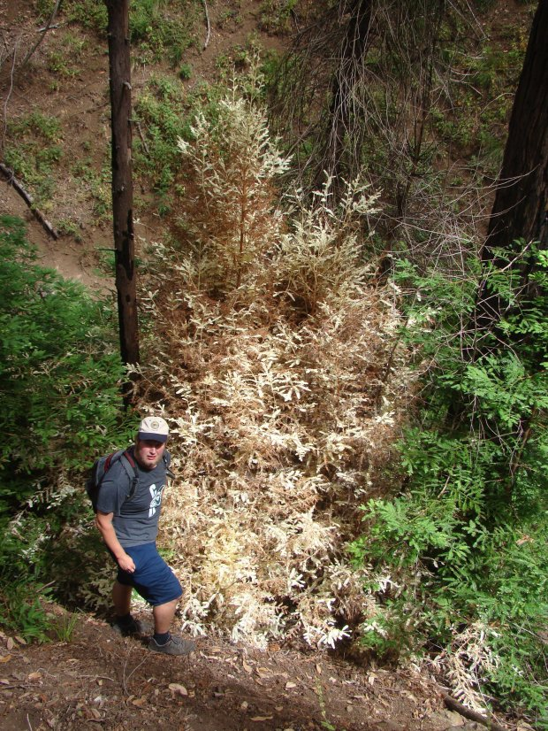 Researcher Zane Moore explores an albino redwood in Monterey County. (Zane Moore - Special to the Mercury News)