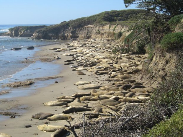 The elephant seal colony at Ano Nuevo State Park. credit: California State Parks