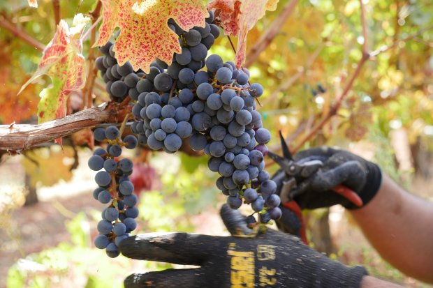 Ernesto Onofre picks wine grapes at Martin Ranch Winery Tuesday, Oct. 11, 2016, in Gilroy, Calif. (Jim Gensheimer/Bay Area News Group)