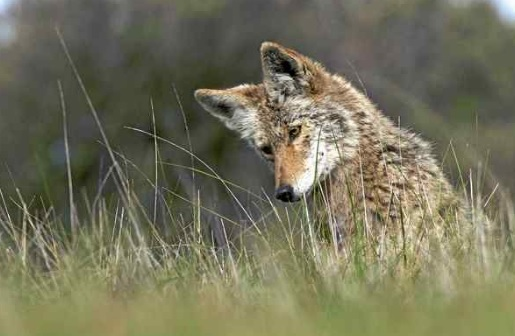 A coyote in Mill Valley. Trish Carney - Marin Independent Journal