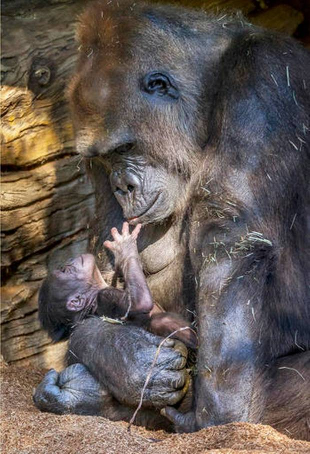 Kokomo the gorilla holds her 2-day-old baby at the San Diego Zoo Safari Park in Escondido, Calif., Thursday, Oct. 20, 2016. The baby weighs about 4 pounds and Kokomo tops the scales at 229 pounds. The zoo says Kokomo is a very protective and attentive mother who won't let the newborn out of her arms. It's the second baby for Kokomo and the father, named Winston. (San Diego Zoo Global via AP Ken Bohn)