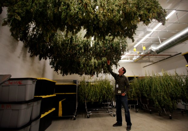Pat Sullivan, general manager at Airfield Supplies, inspects marijuana plants drying Wednesday, Oct. 13, 206, at their new facility in San Jose, Calif. Airfield Supplies is one of San Jose's 16 legal medical marijuana shops.)