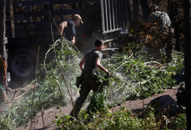 Santa Clara County Sheriff's deputies remove pot plants from a home on Loma Chiquita Road in the Santa Cruz Mountains, Wednesday, Oct. 5, 2016. The marijuana-eradication raid was in the general vicinity of where the Loma Fire began. The operation is one of a series of periodic sweeps in the area to crack down on the large mountain grows that can spark fires like the huge wildfire that just died down. (Patrick Tehan/Bay Area News Group)